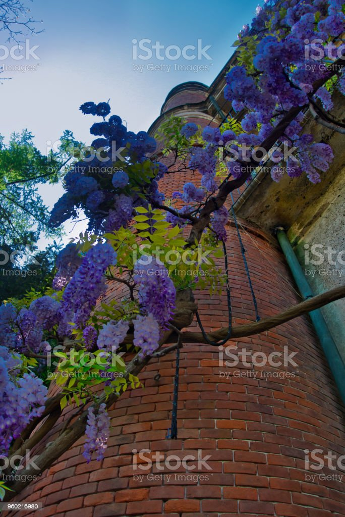 Row of wisteria grown on a brick tower, illuminated by the sun. - foto stock