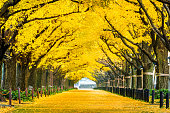 秋に黄色のイチョウの木の行。東京都の秋の公園。