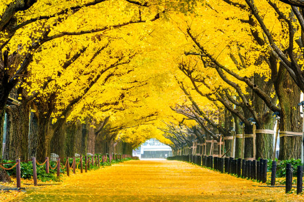 Row of yellow ginkgo tree in autumn. Autumn park in Tokyo, Japan. stock photo