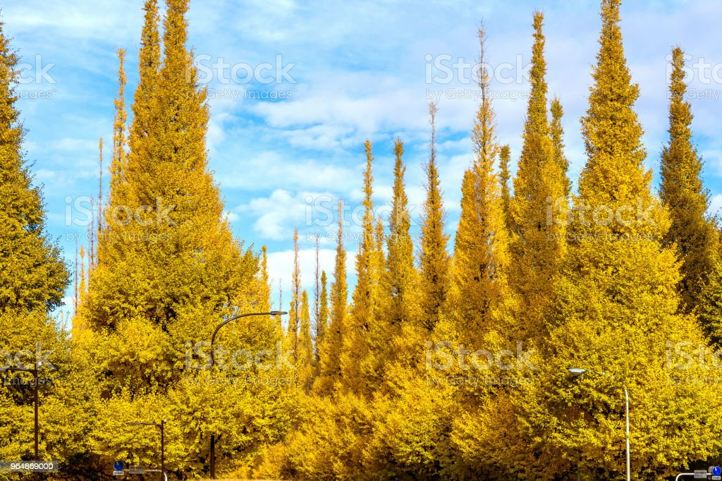 Row of yellow ginkgo tree in autumn. Autumn park in Tokyo, Japan. royalty-free stock photo