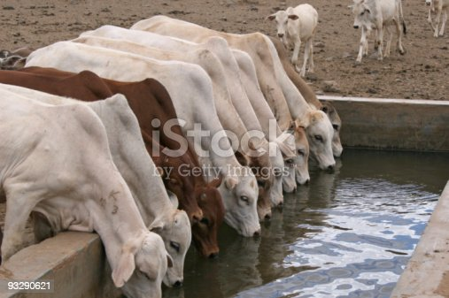 A similar age group of young cattle drinking water, while their younger sibblings are still on their way. Water is scarce in this arid district of Kenya, and becomes even more scarce following the global warming. Pastoralists find it more and more difficult to find enough water and grazing, also caused by increasing population. At this water source, the livestock owners have to pay a fee to have their animals drink the water.