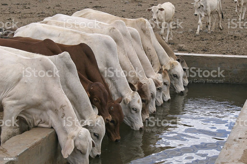 Row of young cattle drinking water in Isiolo, Kenya stock photo