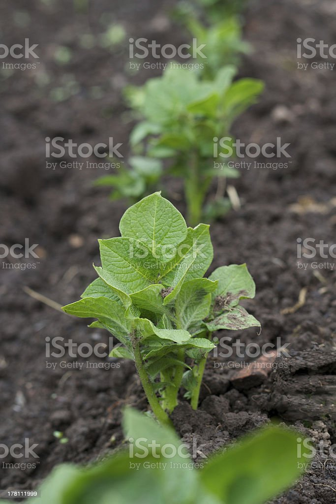 Row of young potato plants stock photo