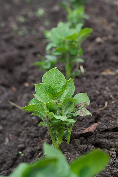 Row of young potato plants stock photo