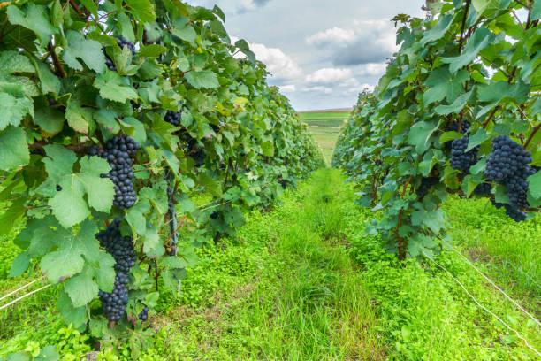 zeile rebe trauben im champagner weinberge in montagne de reims, frankreich - bordeaux wein stock-fotos und bilder