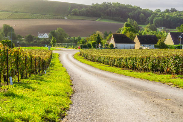 Row vine grape in champagne vineyards at montagne de reims countryside village background Row vine grape in champagne vineyards at montagne de reims countryside village background, France epernay stock pictures, royalty-free photos & images