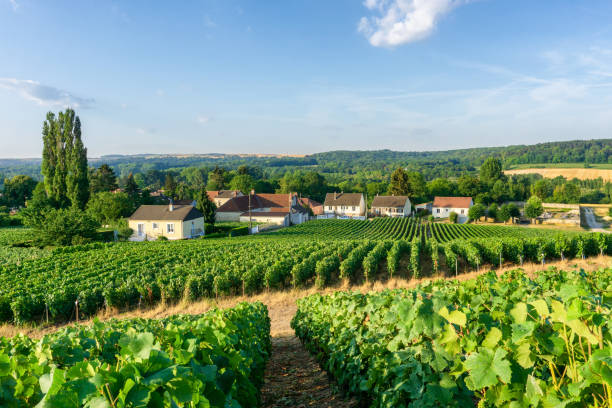 Row vine grape in champagne vineyards at montagne de reims countryside village background Row vine grape in champagne vineyards at montagne de reims countryside village background, France ile de france stock pictures, royalty-free photos & images