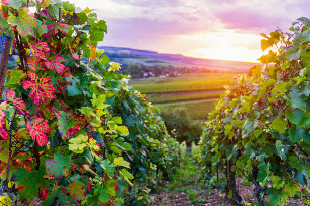 Row vine grape in champagne vineyards at montagne de reims countryside village background Row vine grape in champagne vineyards at montagne de reims countryside village background, Reims, France marne stock pictures, royalty-free photos & images
