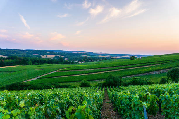Row vine grape in champagne vineyards at sunset background Row vine grape in champagne vineyards at sunset background, Reims, France marne stock pictures, royalty-free photos & images