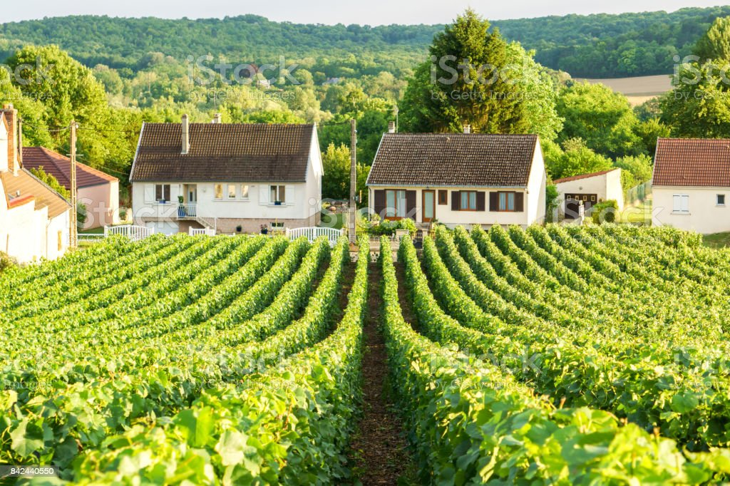 Row vine green grape in champagne vineyards at montagne de reims on countryside village background, France stock photo