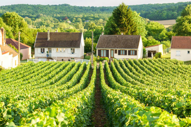 Row vine green grape in champagne vineyards at montagne de reims on countryside village background, France Row vine green grape in champagne vineyards at montagne de reims on countryside village background, France epernay stock pictures, royalty-free photos & images
