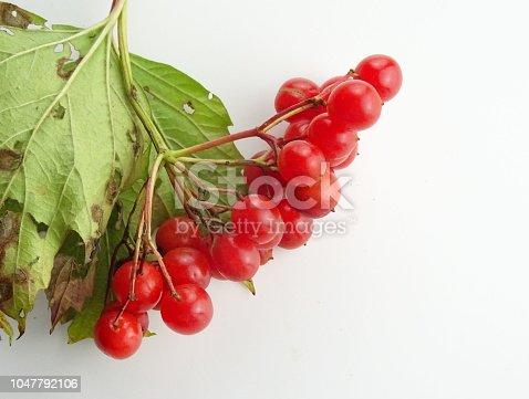 istock Rowan and mountain-ash isolated berries and leaves (orbus aucuparia) 1047792106