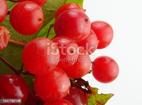 istock Rowan and mountain-ash isolated berries and leaves (orbus aucuparia) 1047792138