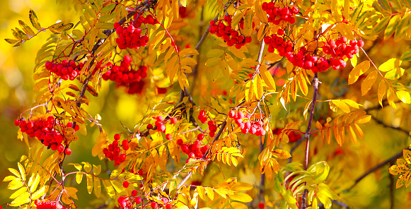 Rowan autumn Bush.