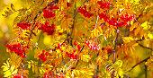 Rowan autumn Bush.