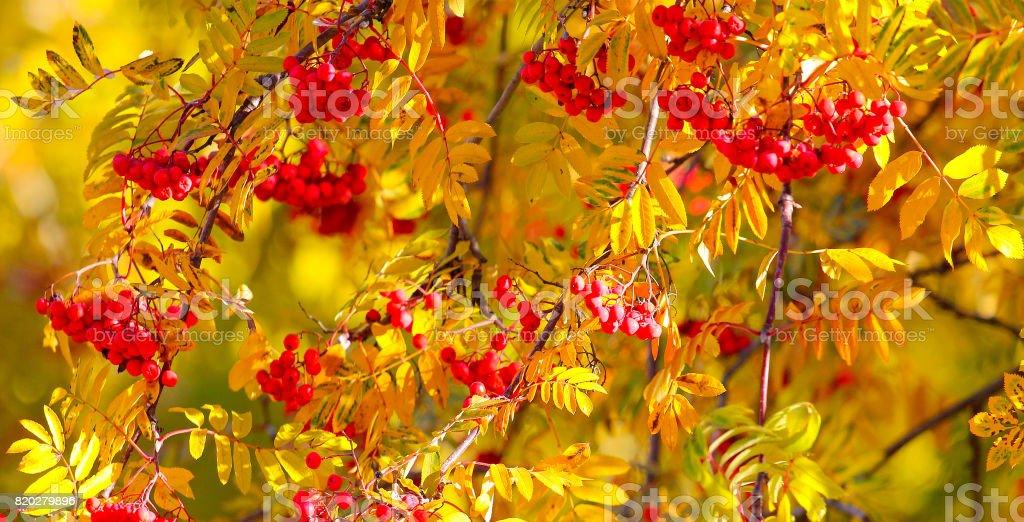 Rowan autumn Bush. stock photo