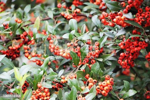 istock Rowan berries in autumn 1065574904