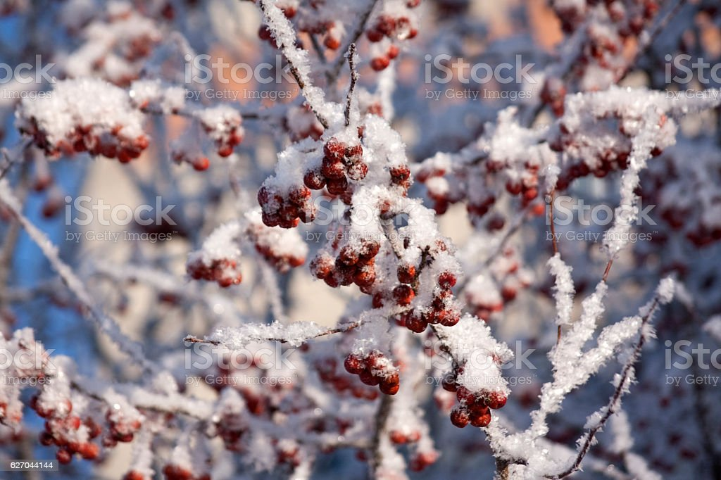 Rowan berries in the snow stock photo