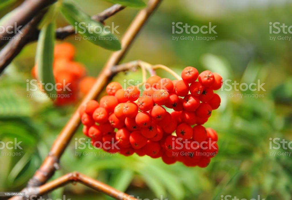 Rowan berries, Mountain ash (Sorbus) – zdjęcie