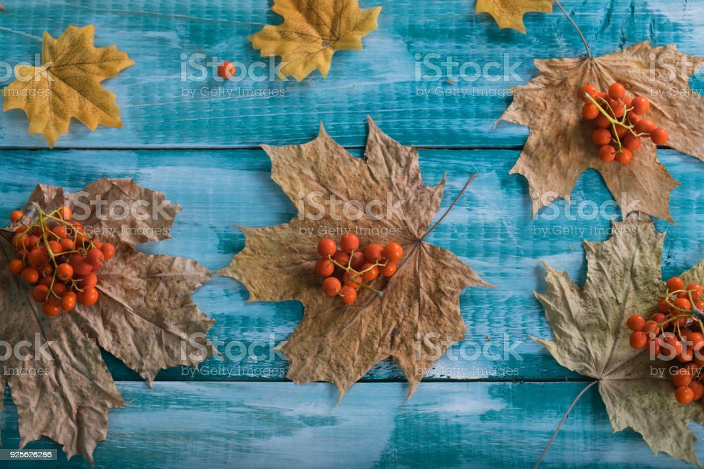 Rowan berries on dehydrated maple leaves. stock photo