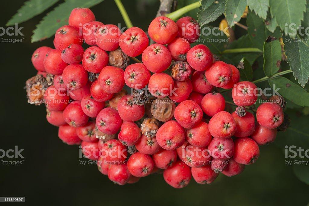 Rowan Beeren, Vogelbeeren, Sorbus Aucuparia (XXXL) – Foto