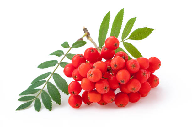 Rowan berry against white background stock photo