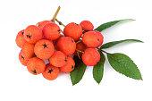 Rowan berry (Sorbus aucuparia). Closeup.