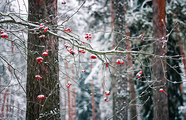 rowan branch in winter forest - february stock photos and pictures
