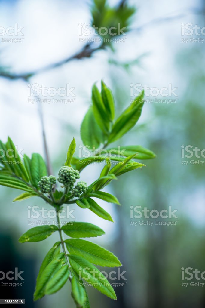 Rowan branches with new leaves royalty free stockfoto