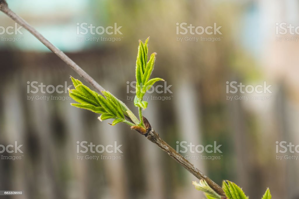 Rowan branches with new leaves foto stock royalty-free