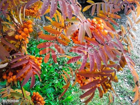 istock Rowan in autumn in Siberia 857504544