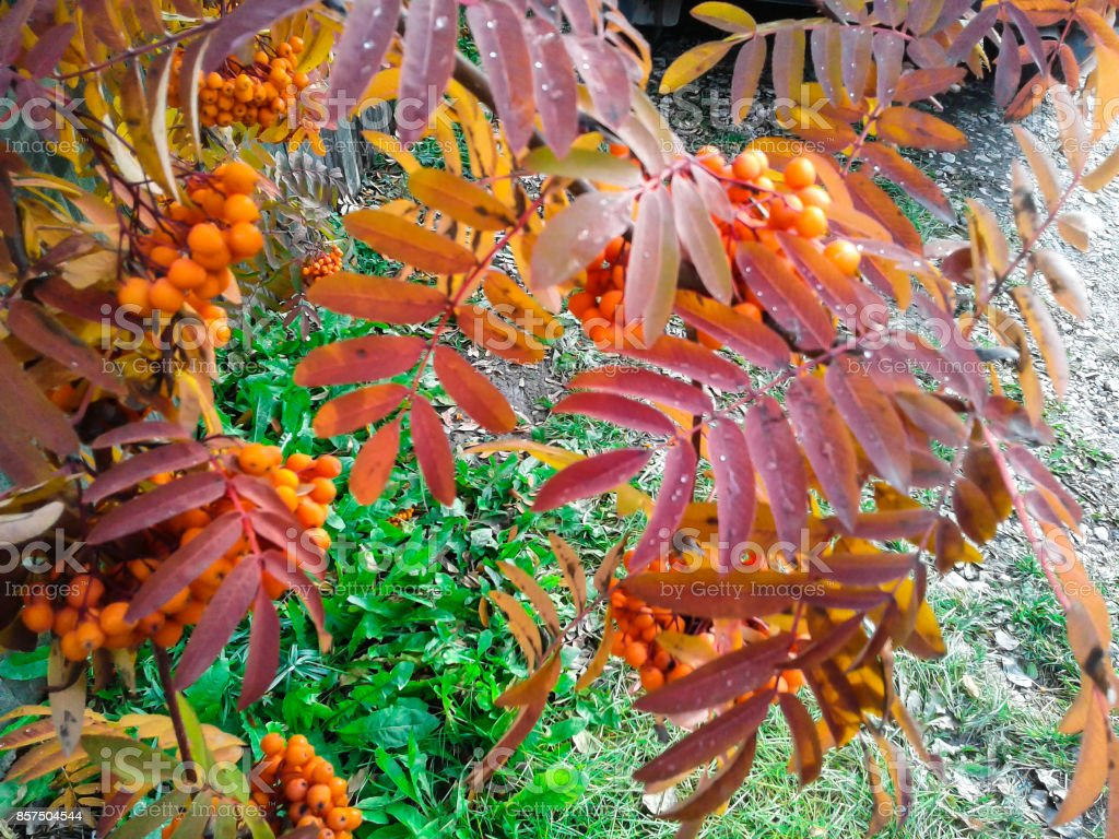 Rowan in autumn in Siberia stock photo