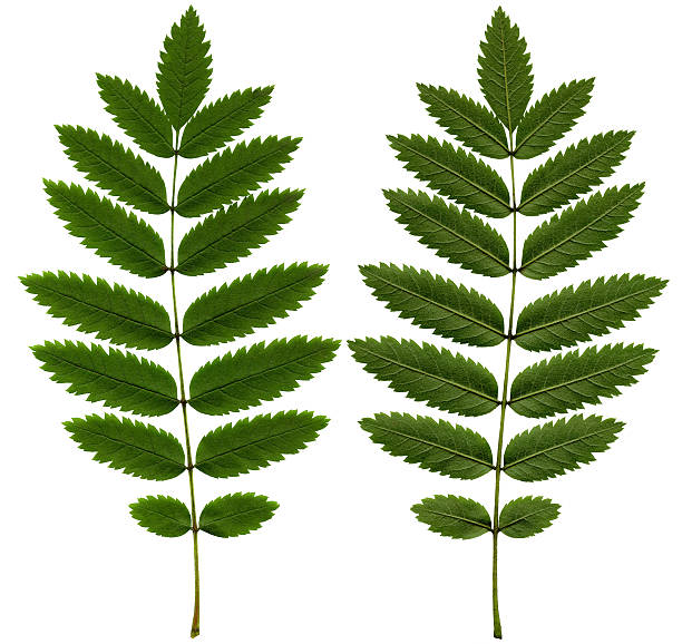 Rowan leaf XXL stock photo