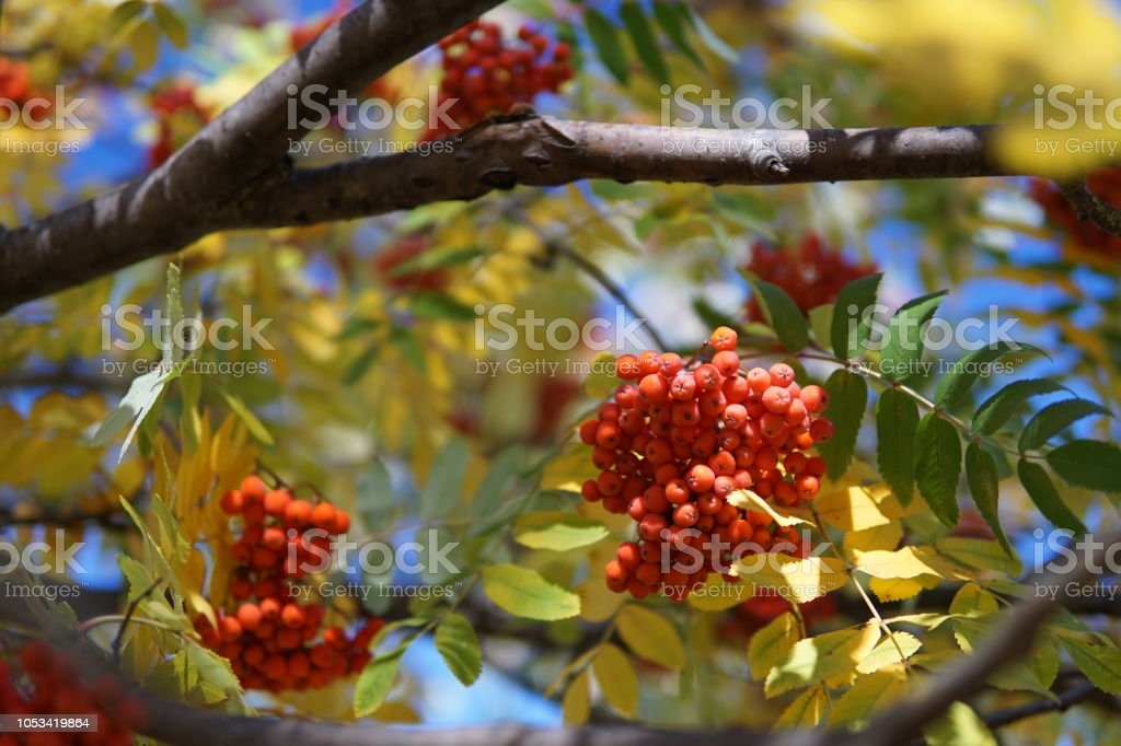 Rowan on a branch. Red rowan. Rowan berries on rowan tree. Sorbus aucuparia. – zdjęcie