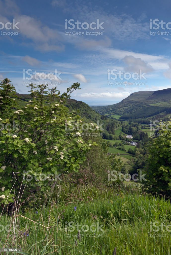 Rowan on a Glenariff Hillside Glenariff is a valley of County Antrim, Northern Ireland.  Known for lush farmland, this glacially carved glen has a mouth on the North Channel of the Irish Sea at the town of Waterfoot.  Here is the view from the Glenariff Forest Park.  The foreground white flowering bush of pinnate leaves is Rowan (Sorbus in the family Rosaceae subfamily Maloideae). In Irish it is Crann Caorthainn, a plant considered sacred in ancient times by both Celts and Vikings. The fruit is made into preserves, jellies. The pinnate leaves are similar to Ash, the reason it is also known as Mountain Ash, Rowan is botanically unrelated to Ash. Agricultural Field Stock Photo