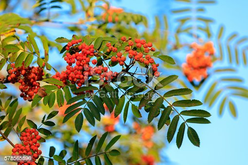istock Rowan on the branch against blue sky 578565896