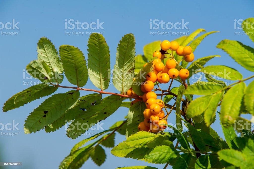 Rowan Red Berries Brush Berries And Other Small Fruits Rowan Tree