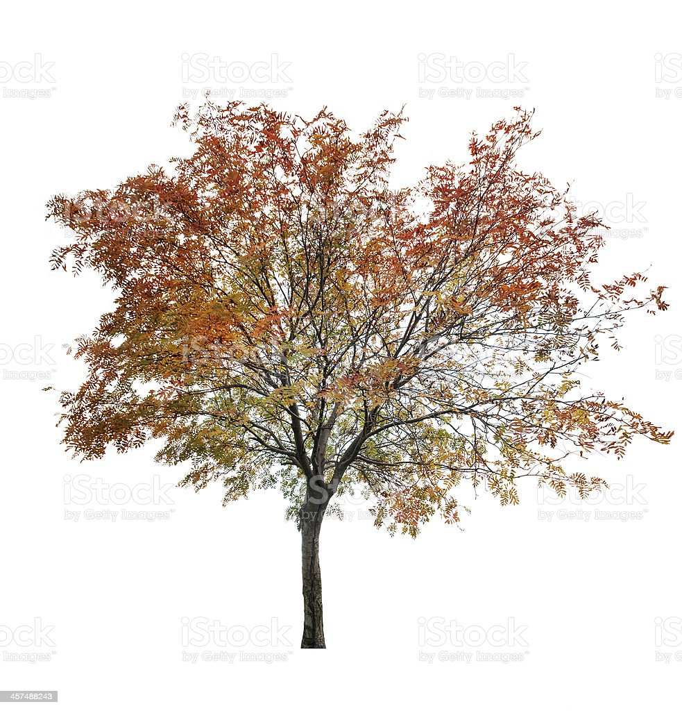 rowan tree at late autumn on white stock photo