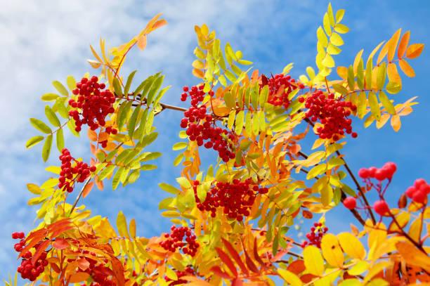 Rowan tree autumn at times stock photo