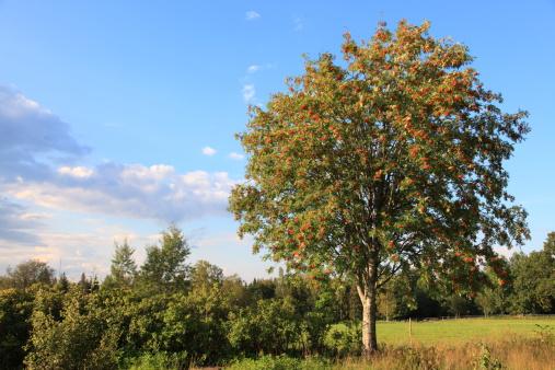 Rowan tree in beautiful rural Sweden