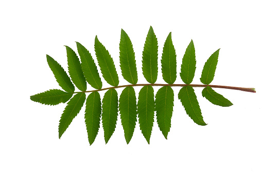 Rowan tree leaf isolated on a white background.