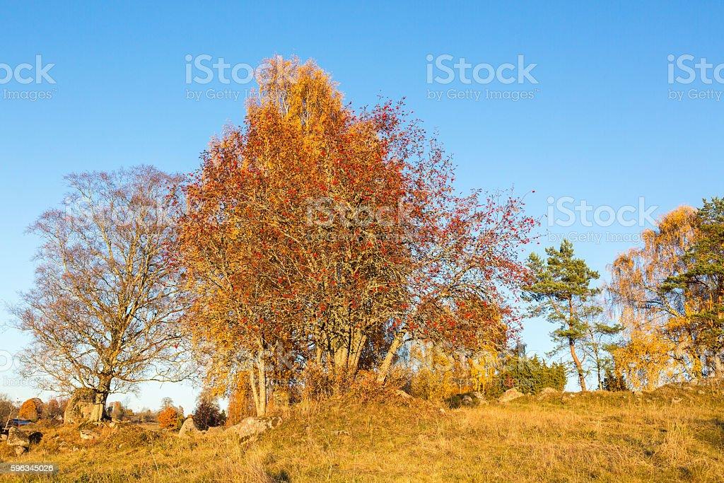 Rowan tree on a hill in autumn royalty-free stock photo