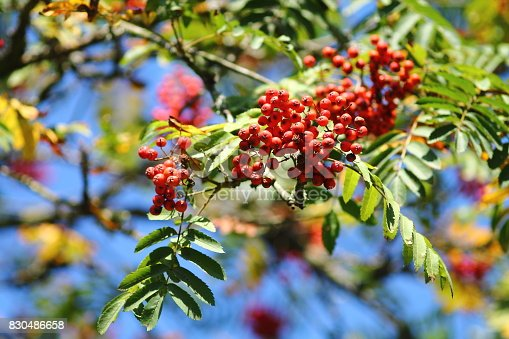 istock Rowan tree twig with leaves and berries. 830486658