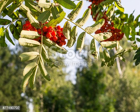 istock rowan tree with red berries at autumn. background, nature, medical. 877490702