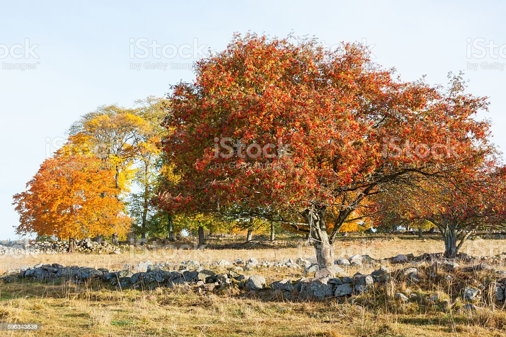 Rowan Trees with autumn colors royalty-free stock photo