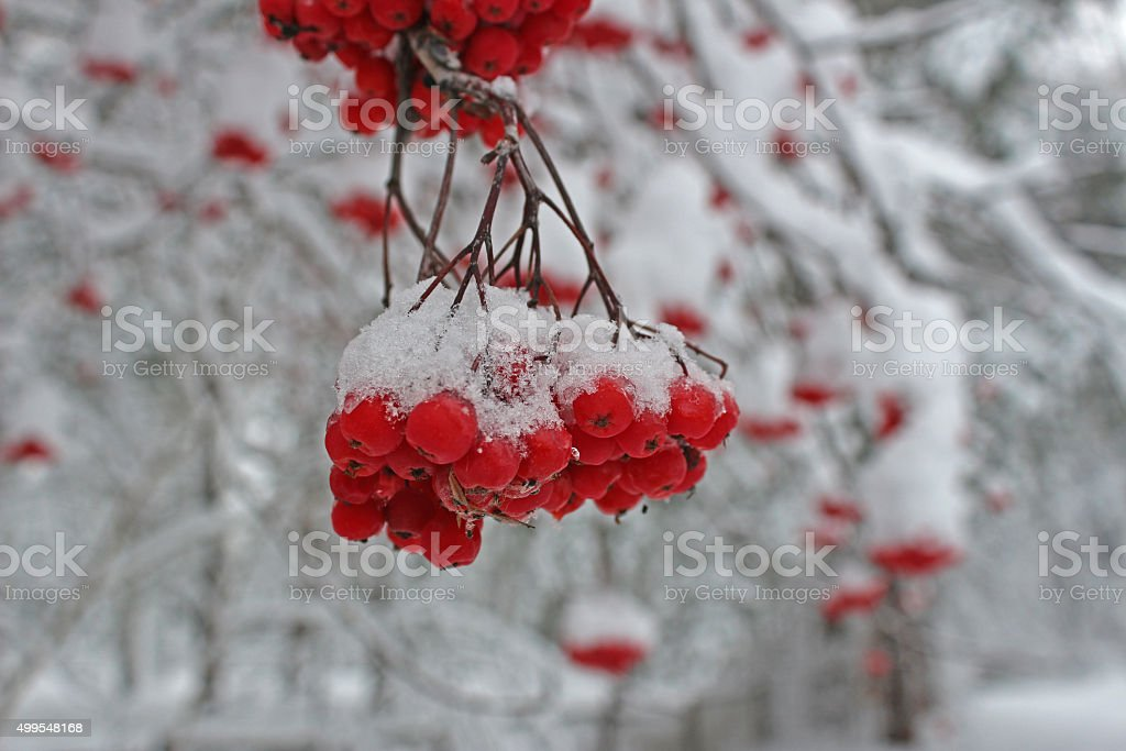 Rowan under the snow in cold winter stock photo
