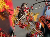 October photo with rowan-berries in close-up. We see a waxwing awaiting next. (Arctic Circle, Sweden)
