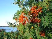 August photo with rowanberries next to the river (Torne Valley, Sweden)