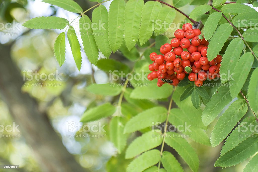 Rowanberries royalty-free stock photo