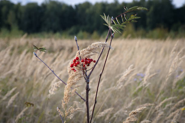 Rowanberry branch on the background of the meadow stock photo